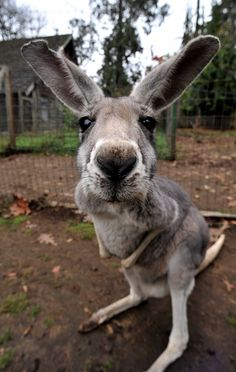 """Kangaroo"" at the Outback Kangaroo Farm, Arlington, Washington. Kangaroo farms benefit from preserving the lives of kangaroos. Cute Creatures, Beautiful Creatures, Animals Beautiful, Cute Baby Animals, Animals And Pets, Funny Animals, Strange Animals, Tier Fotos, My Animal"