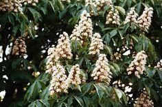 White Chestnut, o floral de Bach que alivia o tormento mental.