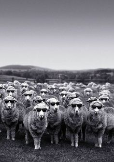 Sheep in sunglasses. What more do you want?