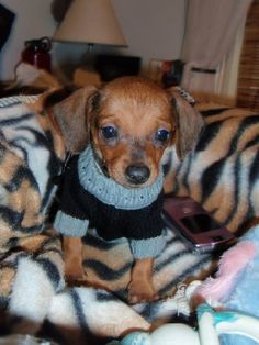 Chiweenie ---- if I ever have another dog .... This is it.