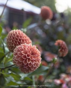 Cut Flower Garden, Pink Garden, Flower Farm, Dream Garden, Vegetable Garden, Garden Plants, Beautiful Gardens, Beautiful Flowers, Growing Dahlias