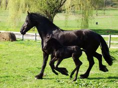 Image detail for -Free Friesian horses Wallpaper - Download The Free Friesian horses ...