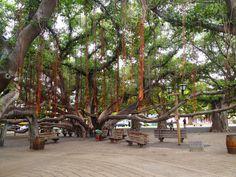 Lahaina, Maui -  Banyan tree