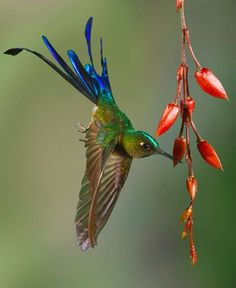 Long-tailed Sylph Hummingbird by John Williams