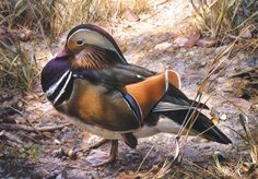 'Mandarin Drake' by Carl Brenders Belgium naturalist and painter born The painter is most famous for his detailed and lifelike paintings of wildlife. Wildlife Paintings, Wildlife Art, Animal Paintings, Art Canard, Animal Painter, Duck Art, Illustrations, Love Painting, Bird Art