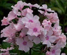Phlox paniculata 'Rowie'