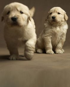 I should just look at pictures of golden retriever puppies on a daily basis. Must. Cuddle.