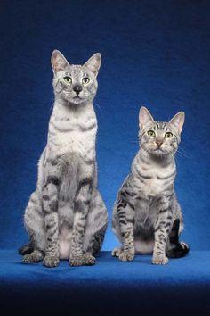 Savannah Cats - 1/2 domestic cat and 1/2 serval cat.