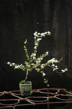 Bonsai de Spiraea japonica alba.