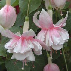 Fuchsia 'Devonshire Dumpling'