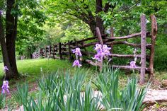Old fence and iris...