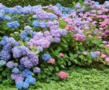 Endless Summer was the first and is the highest quality frost proof hydrangea. Developed in St. Paul, it blooms on both old and new growth.