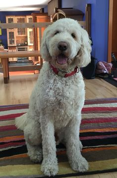 Goldendoodle Haircuts, Goldendoodle Grooming, Mini Goldendoodle, Dog Crossbreeds, Puppy Cut, Doodle Dog, My Animal, Dog Care, Dog Pictures