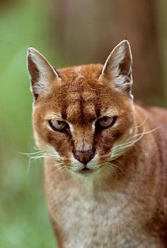 African Golden Cats are medium sized African cats with golden, red or gray coats with or without spotted bellies