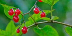 Blasenentzündungen: Solanum dulcamara | Schluss mit ... | Praxisvita Home Remedies, How To Stay Healthy, Health Care, Nhk, Wraps, Sweets, Wellness, Sport, Beauty