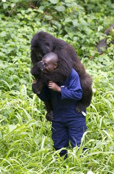 Hunting: The gorillas are also vulnerable to poachers, who make their way through the parks. Pictured: Ranger Andre Baunma with a gorilla who has been orphaned and is now being cared for at the Mikeno Lodge, Virunga National Park