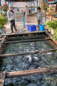Local Aquaculture | Tilapia farming