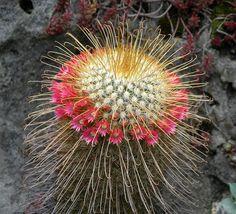 Mammillaria magnifica Succulents In Containers, Cacti And Succulents, Planting Succulents, Cactus Planta, Cactus Y Suculentas, Unusual Plants, Rare Plants, Agaves, Cactus Pictures