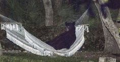 A black bear was spotted lounging in a hammock in a Daytona Beach, Florida backyard. Local resident Rafael Torres snapped a couple of photos of the chill bear. Watch WKMG‑TV report in the video below: Funny Animal Pictures, Funny Animals, Cute Animals, Crazy Animals, Animal Pics, Wild Animals, Crazy Pictures, Animal Funnies, Pretty Animals