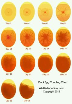 egg candling chart for duck eggs. it takes 21 for chickens Chicken Incubator, Egg Incubator, Keeping Chickens, Raising Chickens, Raising Quail, Canard Coop, Egg Candling, Candling Chicken Eggs, Hatching Chickens