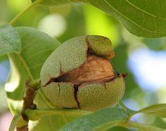 Almost a #ready #walnut from #Kashmir.