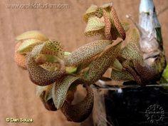 Mormodes densiflora