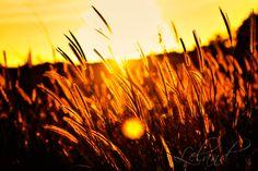 Cornfield in the sunlight