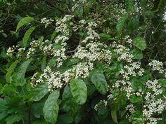 Carpodeus serratus - Marble Leaf/ Putaputaweta (Bucket of Water tree). Tall Shrubs, Small Trees, New Zealand, Flora, Herbs, Leaves, Banks, Marble, Bucket
