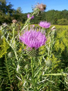 Blessed thistle is also known as holy thistle, St. Benedict thistle, cardin, and spotted thistle. This herbaceous annual has been cultivated for centuries as a medicinal herb.