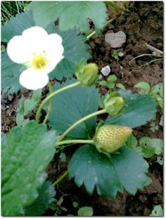The 10 commandments for growing strawberries – # strawberries # for # … - Modern Gardening Magazines, Organic Gardening, Organic Vegetable Garden, Plants, Water Garden, Organic Gardening Tips, Grow Avocado, Growing Strawberries, Landscaping Plants