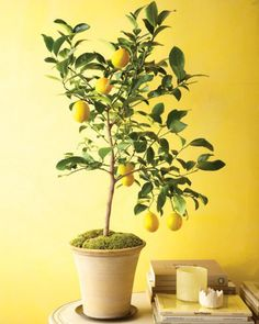 Dwarf fruit trees can be grown in containers indoors during the winter months then brought outside when the weather warms.  Indoor citrus trees are our favorite easy care small trees. So satisfying!