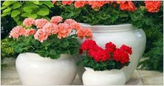 Glorious Enjoy Life With Your Own Flower Garden Beautiful Easy Ideas. Enjoy Life With Your Own Flower Garden Beautiful Easy Ideas. Easy Garden, Garden Pots, Geranium Plant, Rogers Gardens, Flower Pot Design, Garden Trellis, Farm Gardens, Small Plants, Organic Gardening