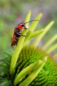 Firefly (insect) | Firefly Lightning Bug Grabs A Snack Before Work Photograph - Firefly ...