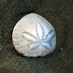 Beach Decor  Live Sand Dollar on the Beach  Live by denisebruchman