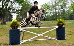 Leap of faith: Sammi Jo Stohler trained her zebra Zack to leap show jumping fences with a rider on his back