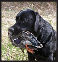 Labrador Retriever Best dogs ever! Big Dogs, I Love Dogs, Hunting Dogs, Duck Hunting, Waterfowl Hunting, Hunting Stuff, Diesel, Black Labrador, Black Labs