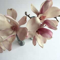 — francespalmer: #magnolia before they are gone