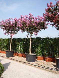 Lagerstroemia indica / Indische Lagerströmie / Kreppmyrte / Affenrutschbaum – dichtbuschig wachsender Strauch oder Baum, bis zu 5m hoch mit wunderschöner Farbenpracht. Auch als Kübelpflanzen gerne genommen.
