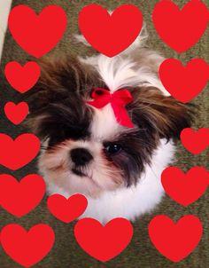 Valentine Shih Tzu