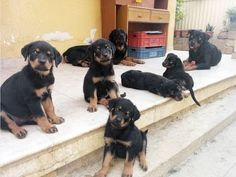 Rottweiler: Puppies playing - YouTube