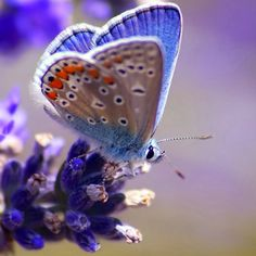 Blue butterfly on blue flower    onebigphoto.com