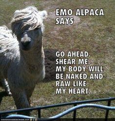 alpaca meme? win.