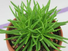 Senecio barbertonicus (Succulent Bush Senecio, Barberton Groundsel) → Plant characteristics and more photos at: http://www.worldofsucculents.com/?p=5156