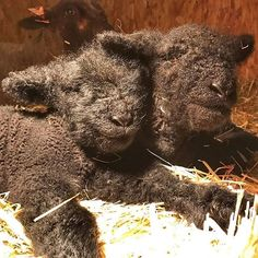 Two more lambs were born at the farm early this morning. SweetPea had a long, tough delivery. Both lambs had to be pulled. For those of you who have seen her she is a small ewe. Her body is better suited for singles.  #1818