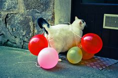 fat balloon cat. i would do this to a cat