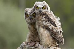 Baby Great Horned Owls snuggling.