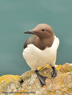 Beautiful bird, but really, how wonderful is that soft cocoa (bird's head) combined with dull green-turquoise plus creamy white? post: Guillemot on Skomer Island - British Wildlife. Pretty Birds, Love Birds, Beautiful Birds, Animals Beautiful, Small Birds, Exotic Birds, Colorful Birds, British Wildlife, Fauna