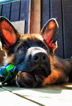 What an awesome beautiful picture of this German shepherd puppy