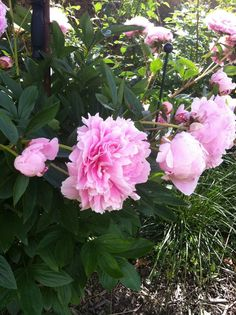 Tips and tricks for growing peonies - La nature by Kinekelly Backyard Planters, Patio Plants, Cactus Plants, Growing Peonies, Diy Porch, Planting Roses, Plantar, Rose Bouquet, Horticulture