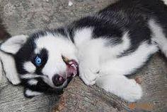 Resultado de imagem para husky filhote